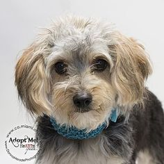 Urgent! I am at a full, high kill shelter in Troy, OH - Yorkie, Yorkshire Terrier/Shih Tzu Mix. Meet Delilah, a dog for adoption. http://www.adoptapet.com/pet/16057586-troy-ohio-yorkie-yorkshire-terrier-mix #yorkshireterrier