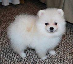 teacup husky puppies for sale   Zoe Fans Blog