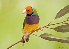 gouldian+finch+pictures | ... gouldian finch male common names lady gouldian rainbow finch name