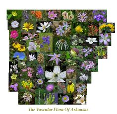 Index Of The Vascular Flora Of Arkansas by Craig Fraiser Fort Smith Arkansas, Arkansas Razorbacks, Green Life, Native Plants, Garden Planning, Beautiful World, White Flowers, Planting Flowers, Nativity