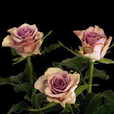 Sweetheart Roses: Lavinda