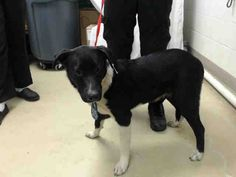 03/01/17-HOUSTON - SUPER URGENT - This DOG - ID#A478586    I am a female, black and white Border Collie mix.    My age is unknown.    I have been at the shelter since Feb 28, 2017.    This information was refreshed 49 minutes ago and may not represent all of the animals at the Harris County Public Health and Environmental Services.
