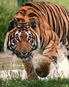 ~~Tiger, tiger... by Brett Terry~~