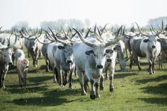 A tél búcsúztatása, a tavasz köszöntése Folklore, Traditional, History, Country, Legends, Magic, Animals, Beautiful, Hungary