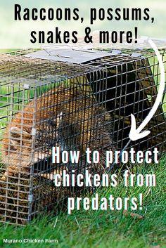 Cute Chickens, Raising Chickens, Chickens Backyard, Chicken Story, Chicken Pictures, Chicken Humor, Opossum, Coops, Predator