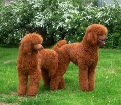 reds, sigh what a beauty...1 red,1brown & 1 parti Standard/Royal Poodles Puppies, for March 6;it would be the best birthday I've experienced in over 40yrs