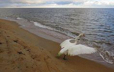 SKÅDA! Fågel, natur, kultur på Österlen: Frisläpp av knölsvan