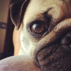 Totally in love Double tap for more pug lovin Original by @alicelab99