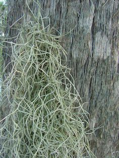 spanish moss on palmetto