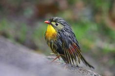 Red-billed Leiothrix | Pin by Annette Smith on Birds of a Feather | Pinterest