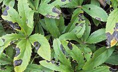 Christrosen und Lenzrosen gefallen nicht nur wegen ihrer schönen Blüten, auch die immergrünen Blätter sind dekorativ. Leider bekommen sie im Lauf des Frühjahrs oft schwarze Flecken – das können Sie dagegen tun.