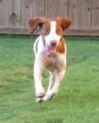 AL-Abby **adoption pending** is an adoptable Brittany Spaniel Dog in Birmingham, AL. UPDATE: Abby has received numerous applications and a decision will be made after her next vet check-up. Brittany Spaniel Dogs, Rainbow Bridge, Happy Girls, Pet Adoption, Best Dogs, Dog Breeds, Labrador Retriever, Puppies, Pets
