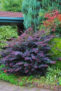 Loropetalum Purple Prince... re-do white azalea bed??