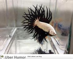 pretty beta fish