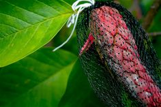Seedsaving idea. Lewis Ginter Botanical Garden's effort to preserve the seeds from a special hybrid magnolia.