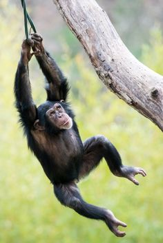 Photograph Swinging Chimp VI by Abeselom Zerit on 500px