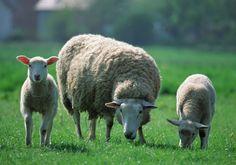 Agneau – Herbes – Manger – Maternel – Moutons – Poils blancs