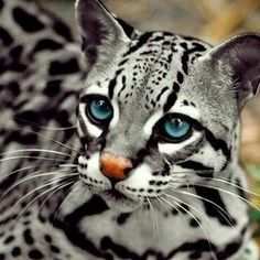 Indonesian wild cat