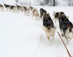 Through various online activities, students get an inside look at the annual 1,100-mile dogsled race across Alaska's windswept tundra.  @ Scholastic.com