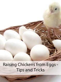 Raising Chickens from Eggs - Tips and Tricks