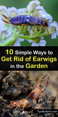 Find out how to get rid of earwigs in the garden with our helpful guide, and keep the creepy-crawlies at bay and away from your plants and home. Earwig Control, Pest Control, Garden Bugs, Garden Pests, Herb Garden, Earwigs In House, Outdoor Plants, Outdoor Gardens, Getting Rid Of Earwigs