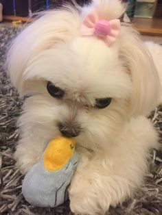 Oh are you a heart stealer. #maltese