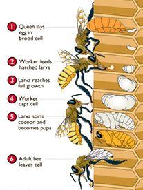 IMAGINES CICLO BIOLOGICO DE LA ABEJA - IMAGES CYCLE BIOLOGIC OF THE BEE.