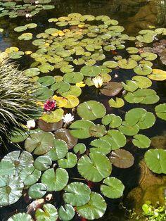 My backyard pond in Spring 2010.