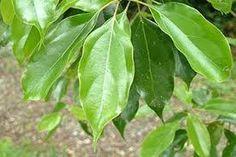 ผลการค้นหารูปภาพสำหรับ เทพทาโร Plant Leaves, Plants, Flora, Plant, Planting