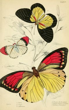 1858 - Foreign butterflies by James Duncan, Sir William Jardine