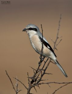 Great Grey Shrike by BogdanBoev on DeviantArt Birds, Deviantart, World, Grey, Britain, Photography, Animals, The World, Ash