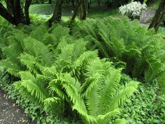 Best Ferns for Problem Clay Soils: Matteuccia struthiopteris — Ostrich fern