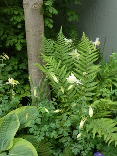 Ferns and Aquilegias – great combination for a shade garden