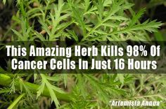 Artemisinin Herb Kills 98% Of Cancer Cells In Just 16 Hours. Take with iron. This link does not work so just google about it.