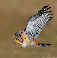 American Kestrel - photo by David Hemmings