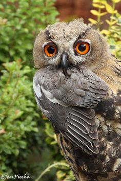 Eurasian Eagle Owls | via Facebook