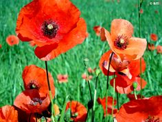 poppies - Google Search