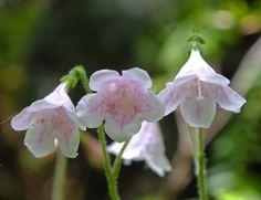 Linnaea borealis (Linnaeaceae) image 58599 at PhytoImages.siu.edu