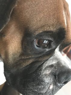 Boxer Dog Chained To An Abandoned Building Gets Rescued And Transformed By An Amazing Woman - The Pooch Online Boxer And Baby, Boxer Love, Boxers, I Love Dogs, Cute Dogs, Boxer Dog Puppy, Dog Stories, Dog Pictures, Dog Photos