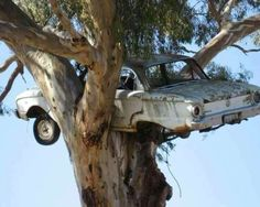 A falcon nesting in a tree! And for those not car savy, the car in the tree is a ford falcon. Ron Weasley has struck again. Abandoned Cars, Abandoned Buildings, Abandoned Places, Abandoned Vehicles, Rust In Peace, Ford Falcon, Growing Tree, Barn Finds, Old Trucks