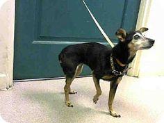 Pasadena, CA - Miniature Pinscher/Chihuahua Mix. Meet ROXY, a dog for adoption. http://www.adoptapet.com/pet/11972619-pasadena-california-miniature-pinscher-mix
