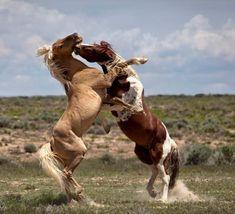 Corona and Tango - Sand Wash Basin Wild Horses Cowboy Horse, Horse Girl, Pretty Horses, Beautiful Horses, Wild Horses Running, Horse Markings, Baby Sea Turtles, Majestic Horse, African Cichlids
