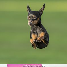 Miniature Pinscher - Dog Agility