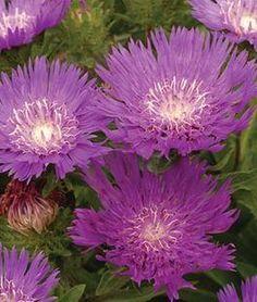 Stokesia laevis, Honeysong Purple,