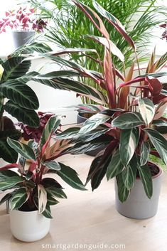 Increase Some Modern Day Design For Your Front Room With Art Deco Coffee Tables Stromanthe Triostar Care Guide. Figure out How To Grow Stromanthe Sanguinea Triostar. This Article Covers All Aspects Of Stromanthe Triostar Care To Keep Your Plant In Perfect