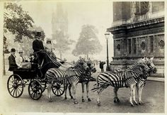Lionel Walter Rothschild's zebra carriage as it appeared on the streets of London in 1894.