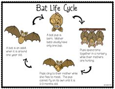 Bat Life Cycle (free from Batty for Bats packet; from Erica's Ed-Ventures)