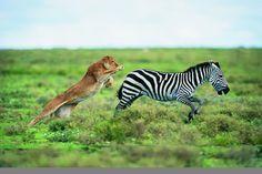 Lion (Panthera leo) Hunting a Zebra (Burchell's zebra) Reasons To Go Vegan, Species Extinction, Evolutionary Biology, Arms Race, Natural Selection, Fauna, Animal Rights, Predator, Cute Animals