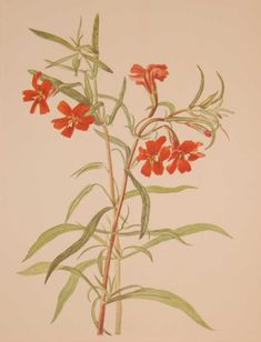 Vintage botanical print from 1925 by Mary Vaux Walcott titled Red Monkeyflower. Walcott did the drawings for these prints whilst traveling across North America and they where subsequently produced in 1925 as prints by the Smithsonian in a work on North American Wildflowers. This is a 1925 print and not a later release, these where done in a limited quantity of 500. Vintage Botanical Prints, Botanical Drawings, Botanical Art, Botanical Illustration, Antique Prints, Art Basics, Nature Prints, Flower Images, Vintage Flowers
