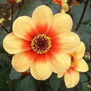 Dahlia 'Sunshine'. Click image to add to your plants list in Shoot and to get care advice reminders.  Other names: Dahlia 'Sunshine', Single-flowered dahlia 'Sunshine', Mignon single dahlia 'Sunshine'    Genus: Dahlia    Variety or cultivar: 'Sunshine' _ 'Sunshine' is a compact, bushy, clump-forming, tuberous perennial with toothed, pinnate, purple- to black-flushed, dark green leaves and, from midsummer into autumn, small, single, golden-yellow flowers with orange-red centres.